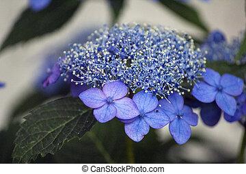 bleu, hortensia, fleur, lacecap