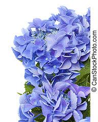 bleu, hortensia, isolé