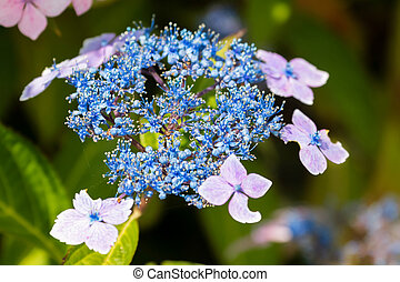 bleu, hortensia, lacecap, abeille