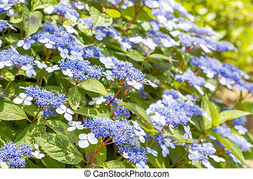 bleu, hortensia, lacecap