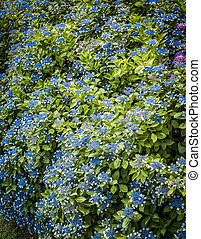 bleu, hydrangeas