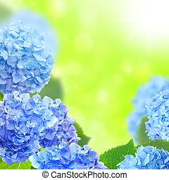 bleu, hydrangeas.