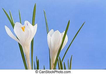 bleu, image, haut, deux, fond, fin, fleurs blanches, colchique