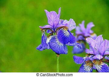 bleu, iris, fleurs