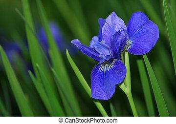 bleu, iris, jardin