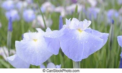 bleu, iris, pâle, japonaise