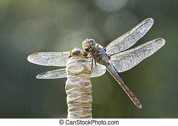 bleu, libellule, naturel, image, haut, fond, fin