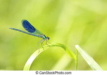 bleu, libellule