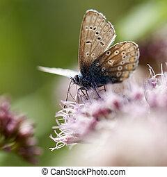 bleu, lycaenidae, -, commun