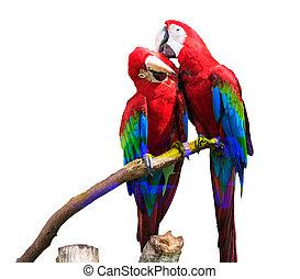 bleu, macaw, or, potrait, &