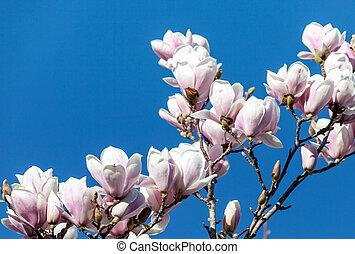bleu, magnolia, fleurs, ciel, contre