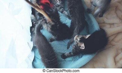 bleu, mignon, forth., têtes, chatons, sofa, mouvement, dos,...