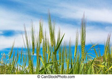 bleu, naturel, printemps, champ ciel, fond, blé, oreilles