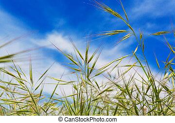 bleu, naturel, printemps, champ ciel, fond, herbe blé, oreilles