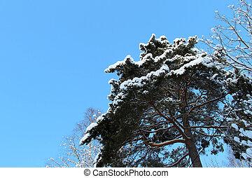 bleu, neigeux, arbre, ciel, pin, contre