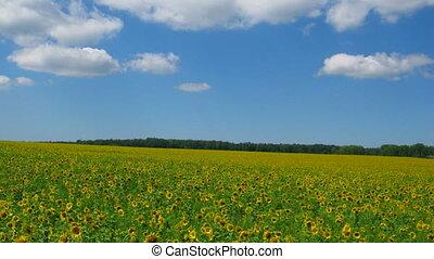 bleu, nuages, champ ciel, tournesols, sous