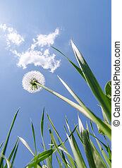 bleu, nuages, pissenlit, ciel, vert, sous, blanc, herbe