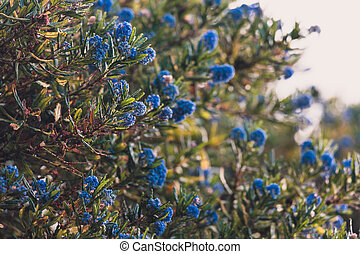 """bleu, pacifique, fleur, """"ceanothus"""", fleurs, arbre"""