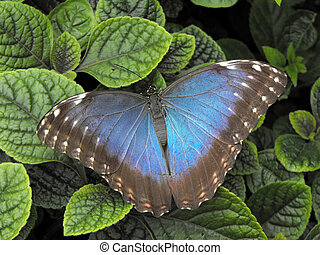 bleu, papillon, commun, morpho
