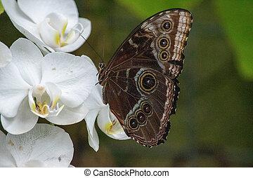 bleu, peleides, trinidad., empereur, papillon, nord, trouvé, mexique, peleides, morpho, commun, iridescent, exotique, paraguay, amérique centrale, sud, ou, morpho
