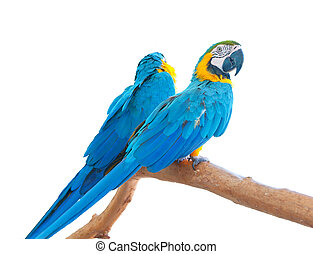 bleu, perche, isolated., (ara, macaws, paire, ararauna)