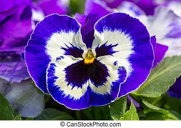 bleu, photo, fleur, violet, macro