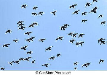 bleu, pigeon, voler, ciel, contre