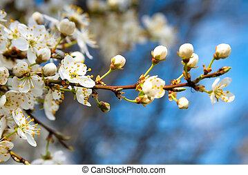bleu, pomme, ciel, floraison, arbre, fleurs blanches