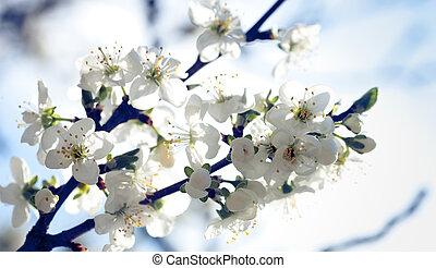 bleu, pommier, sous, fleurs, cieux