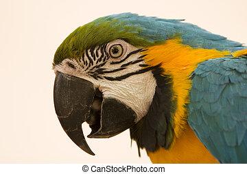 bleu, portrait, macaw, jaune