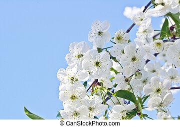 bleu, printemps, arbre, contre, cerise, fleurs, ciel