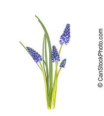 bleu, printemps, arrière-plan., muscari, fleurs blanches