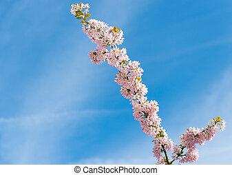bleu, printemps, ciel, contre, sakura, fleurir