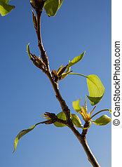 bleu, printemps, feuilles, ciel, arrière-plan., time., vert, premier