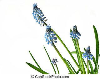 bleu, printemps, fleurs blanches