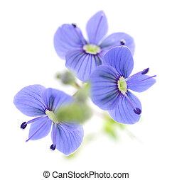 bleu, printemps, flowers.