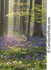 bleu, printemps, hêtre, fleurs, forêt