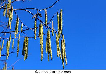 bleu, printemps, hornbeam, ciel, contre, commun, fleurs