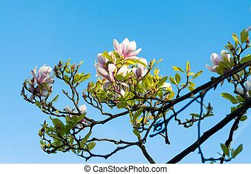bleu, printemps, magnolia, ciel, contre, fleurir