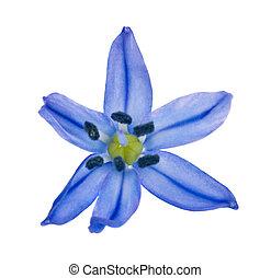 bleu, printemps, scilla, isolé, arrière-plan., flowers., blanc