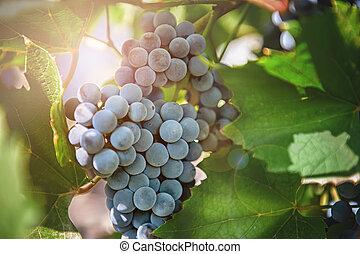 bleu, raisins, mûre, automne, vigne, ensoleillé, branche, pendre, jour, tas