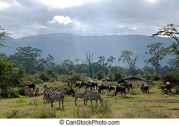 bleu, savane, gnou, zebra, troupeaux, pâturage