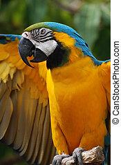 bleu, sien, macaw, jaune, ailes, dehors