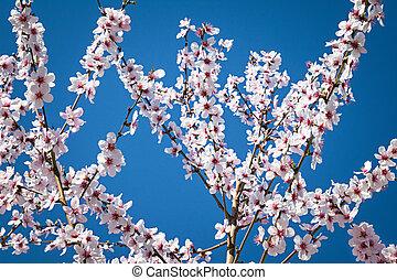 bleu, springtime., amande, fleur pleine, arbre, contre, ciel