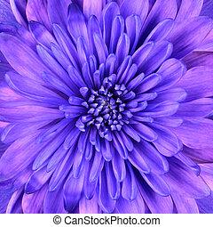 bleu, tête, fleur, détail, chrysanthème, closeup