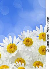 bleu, tacheté, contre, fond, pâquerette, fleurs