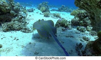 bleu, tacheté, récif corail, sous, stingray