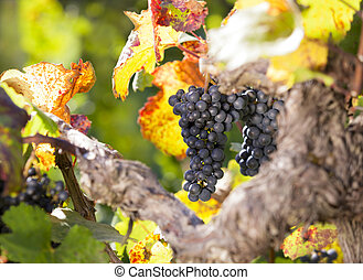 bleu, tas, pendre, vigne, raisins