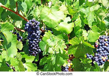 bleu, tas, vignoble, raisins