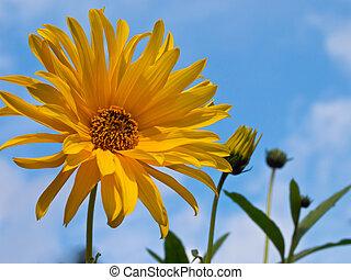 bleu, tournesol, ciel, contre, automne, fleur